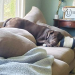 A chocolate labrador sleeping on a couch